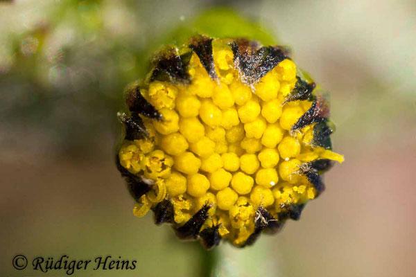 Senecio vulgaris (Gewöhnliches Greiskraut), 22.3.2020
