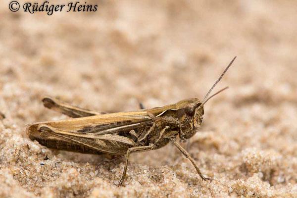 Chorthippus biguttulus (Nachtigall-Grashüpfer) Weibchen, 4.9.2017