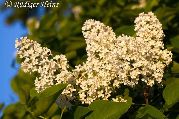 Syringa vulgaris (Gemeiner Flieder), 31.5.2014