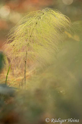 Equisetum sylvaticum (Wald-Schachtelhalm), 16.11.2020