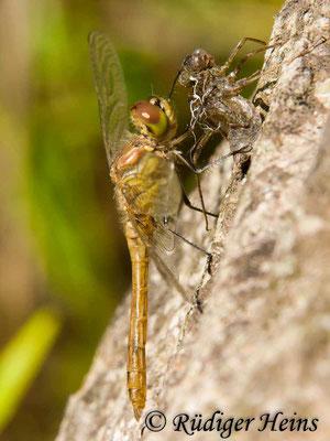 Sympetrum vulgatum (Gemeine Heidelibelle) Männchen nach Schlupf, 22.8.2009