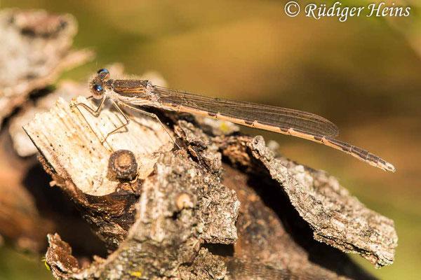 Sympecma fusca (Gemeine Winterlibelle) Männchen beim morgendlichen Sonnenbad in Gewässernähe, 27.4.2020