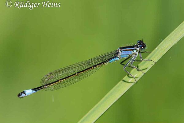 Ischnura elegans (Große Pechlibelle) Weibchen, 30.5.2021