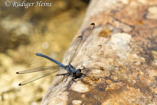 Epallage fatime (Blaue Orientjungfer) Männchen,  15.5.2015