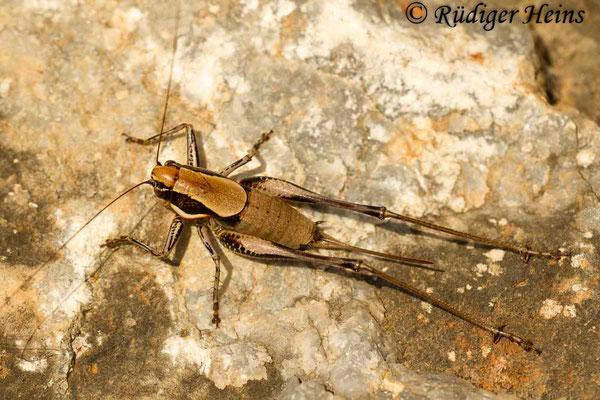 Eupholidoptera smyrnensis Weibchen, 13.5.2015