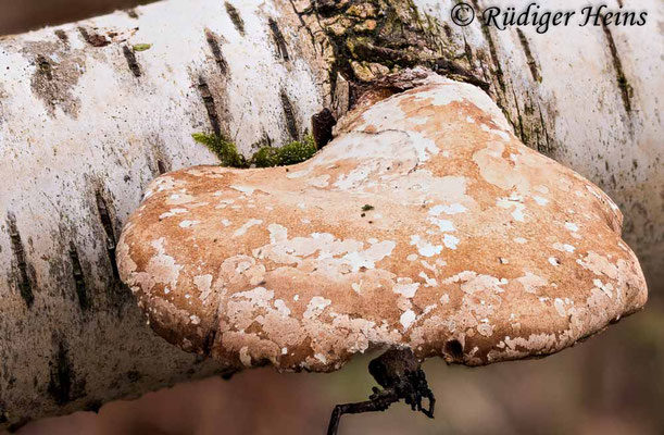 Fomitopsis betulina (Birkenporling), 25.1.2021 (Stack aus 28 Einzelaufnahmen)