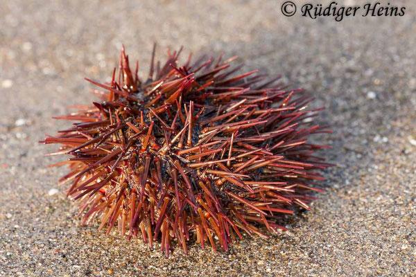 Paracentrotus lividus (Steinseeigel), 11.7.2011