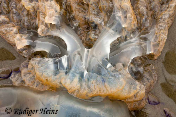 Rhizostoma octopus (Wurzelmundqualle), 24.8.2012