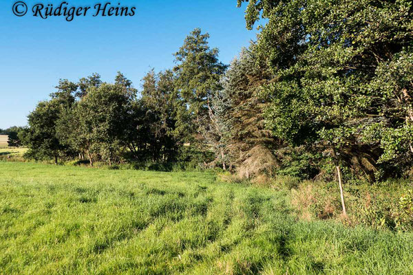 Dioctria cothurnata (Beulen-Habichtsfliege) Habitat, 7.8.2020