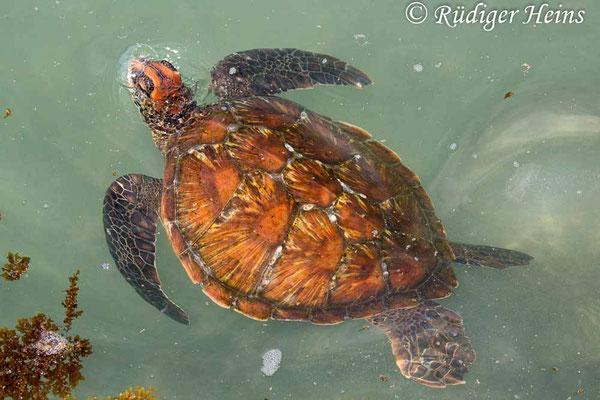 Chelonia mydas (Grüne Meeresschildkröte), Floreana, 17.02.2020