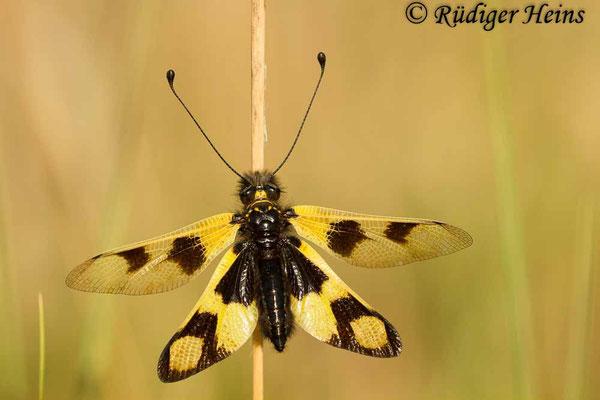 Libelloides macaronius (Östlicher Schmetterlingshaft), 5.7.2016