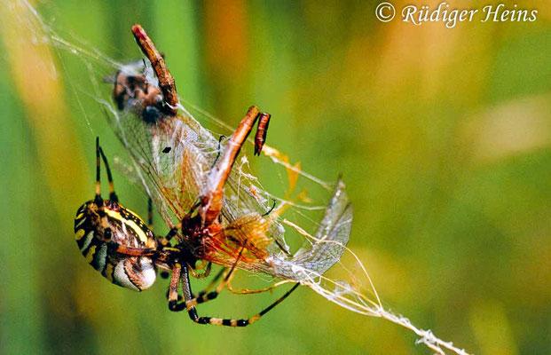 Sympetrum flaveolum (Gefleckte Heidelibelle) Männchen im Spinnennetz, 10.9.2005 (Scan vom Dia)