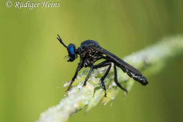 Dioctria atricapilla (Schwarze Habichtsfliege) Männchen, 11.6.2021