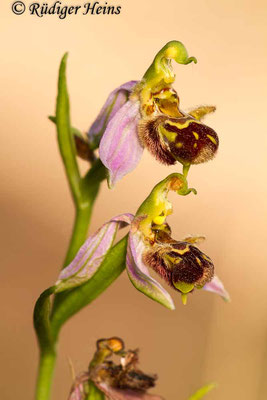 Ophrys apifera (Bienen-Ragwurz), 17.5.2014