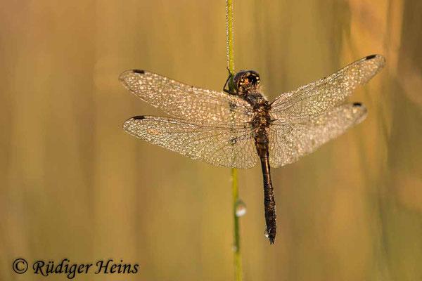 Sympetrum danae (Schwarze Heidelibelle) Männchen, 16.8.2020