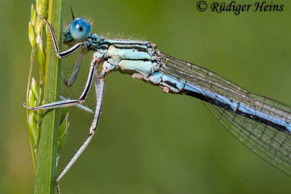 Platycnemis pennipes (Blaue Federlibelle) Männchen, 30.5.2009