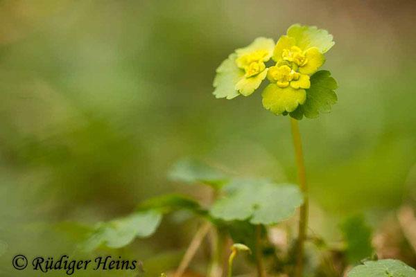 Chrysosplenium alternifolium (Wechselblättriges Milzkraut), 13.4.2017