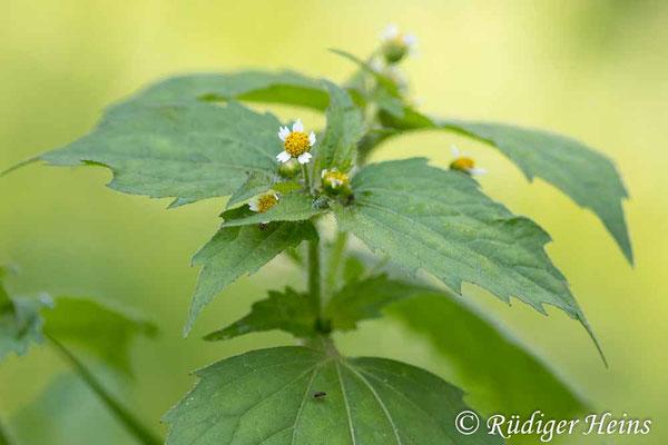 Galinsoga parviflora (Kleinblütiges Franzosenkraut), 29.9.2020