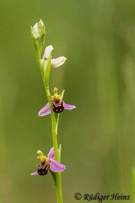 Ophrys apifera (Bienen-Ragwurz), 9.6.2016
