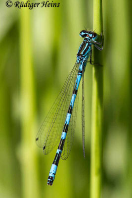 Coenagrion ornatum (Vogel-Azurjungfer) Männchen, 2.6.2020