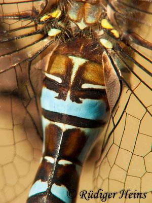 Aeshna mixta (Herbst-Mosaikjungfer) Männchen, 23.10.2011