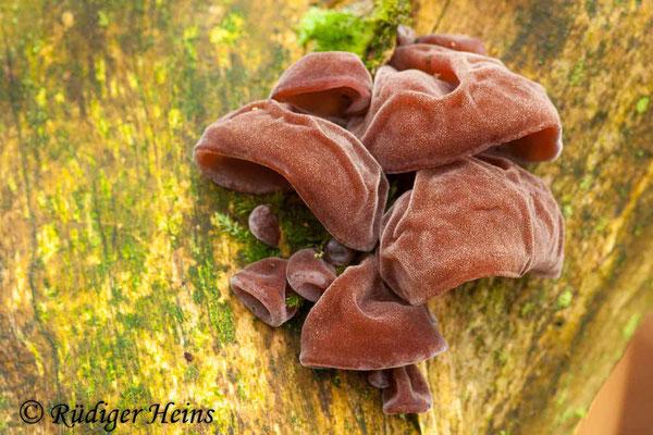 Auricularia auricula-judae (Judasohr), 18.11.2007