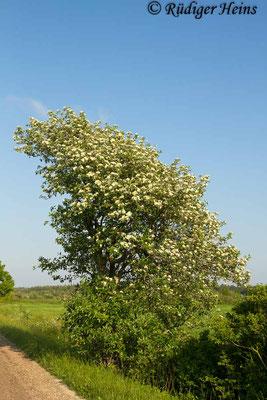 Sorbus intermedia (Schwedische Mehlbeere), 5.6.2014