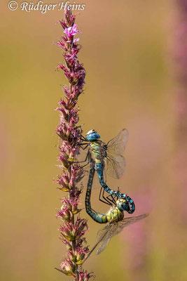 Aeshna affinis (Südliche Mosaikjungfer) Paarung, 26.7.2021 - Makroobjektiv 180mm f/3.5