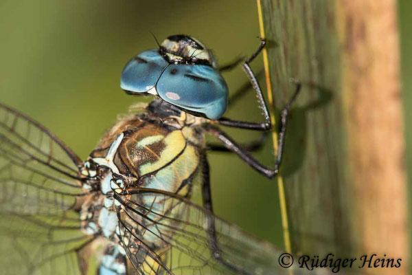 Aeshna affinis (Südliche Mosaikjungfer) Männchen, 6.8.2021 - Makroobjektiv 180mm f/3.5