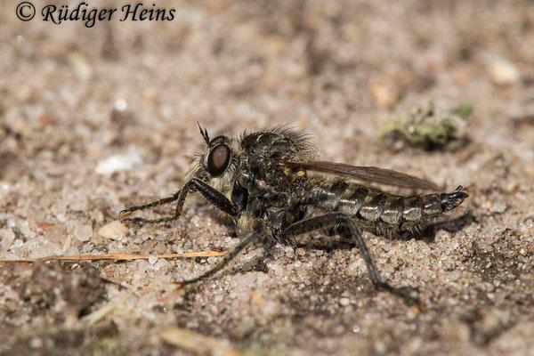 Dysmachus trigonus (Säbel-Raubfliege) Männchen, 20.6.2021 - Makroobjektiv 180mm f/3.5