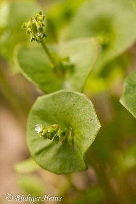 Claytonia perfoliata (Gewöhnliches Tellerkraut), 1.5.2019