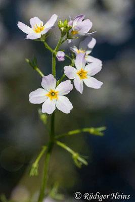 Hottonia palustris (Wasserfeder), 10.6.2006