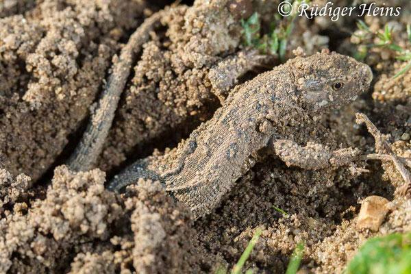 Lacerta agilis (Zauneidechse) Weibchen bei Eiablage, 8.7.2007