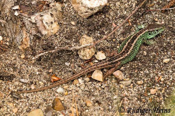Lacerta agilis (Zauneidechse) Männchen, 8.6.2021