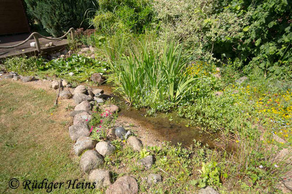 Aeshna cyanea (Blaugrüne Mosaikjungfer) Fortpflanzungsgewässer Gartenteich, 5.6.2018