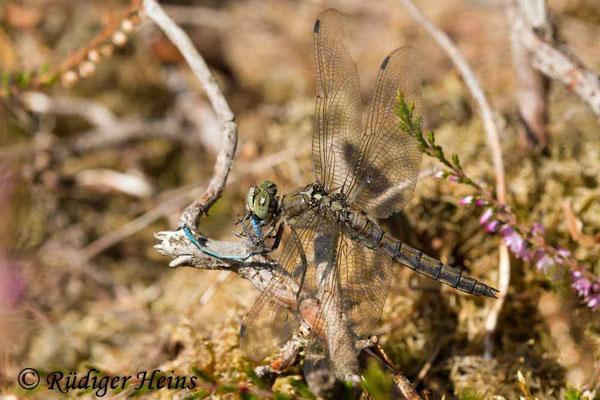 Orthetrum cancellatum (Großer Blaupfeil) Weibchen verzehrt Kleinlibelle, 16.8.2018