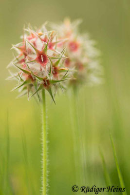 Trifolium stellatum (Stern-Klee), 4.5.2019