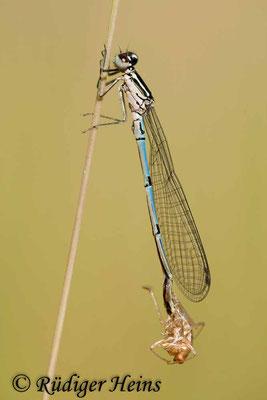 Coenagrion puella (Hufeisen-Azurjungfer) Männchen, 1.6.2011