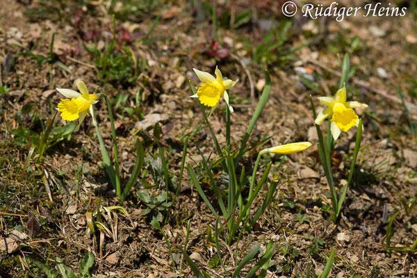 Narcissus pseudonarcissus (Gelbe Narzisse), 7.5.2016