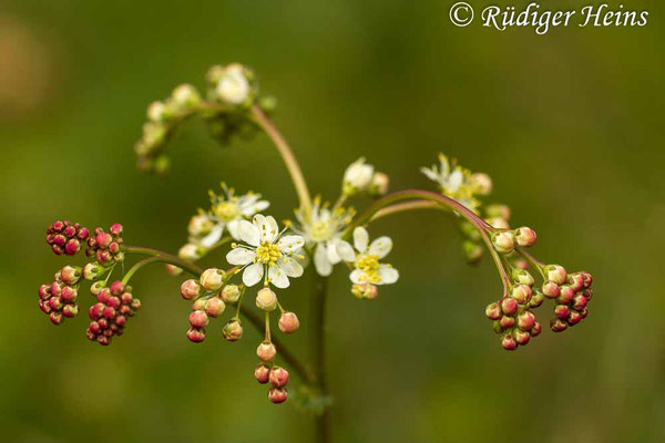 Filipendula vulgaris  (Kleines Mädesüß), 5.6.2014