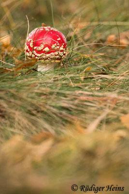 Amanita muscaria (Fliegenpilz), 24.10.2020