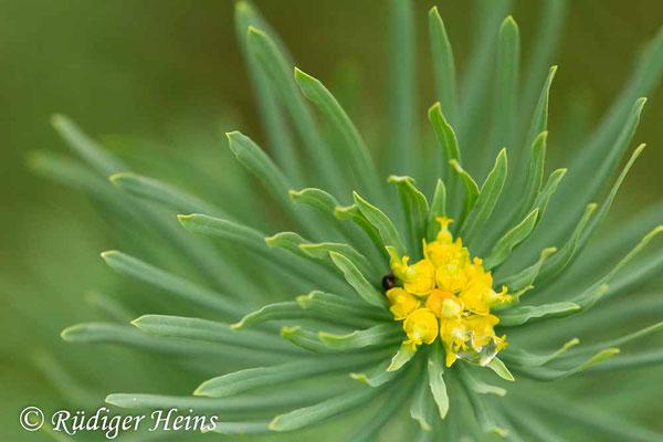 Euphorbia cyparissias (Zypressen-Wolfsmilch), 13.8.2019