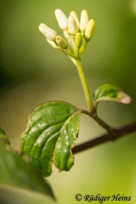 Cornus sanguinea (Roter Hartriegel), 16.6.2021