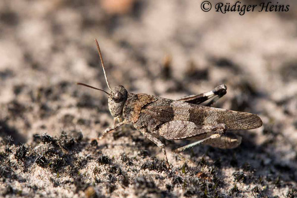 Oedipoda caerulescens (Blauflügelige Ödlandschrecke) Männchen, 22.8.2018