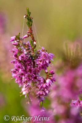 Calluna vulgaris (Besenheide), 16.8.2014