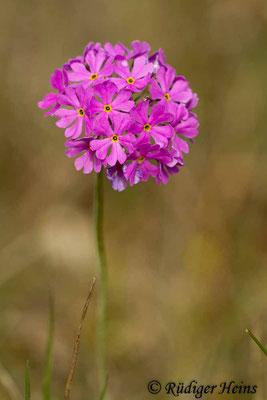 Primula farinosa (Mehlprimel), 31.5.2014