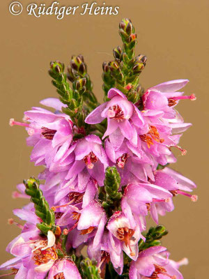 Calluna vulgaris (Besenheide), 12.9.2010