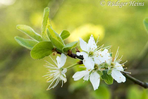 Prunus spinosa (Schlehe oder Schwarzdorn), 17.4.2020