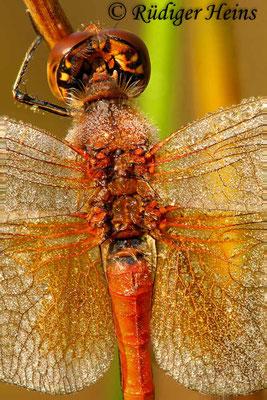 Sympetrum flaveolum (Gefleckte Heidelibelle) Männchen, 31.8.2018 (Stack aus acht Fotos)