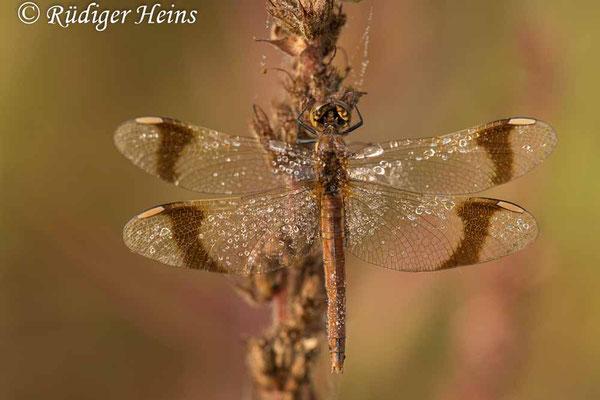 Sympetrum pedemontanum (Gebänderte Heidelibelle) Weibchen, 2.9.2021